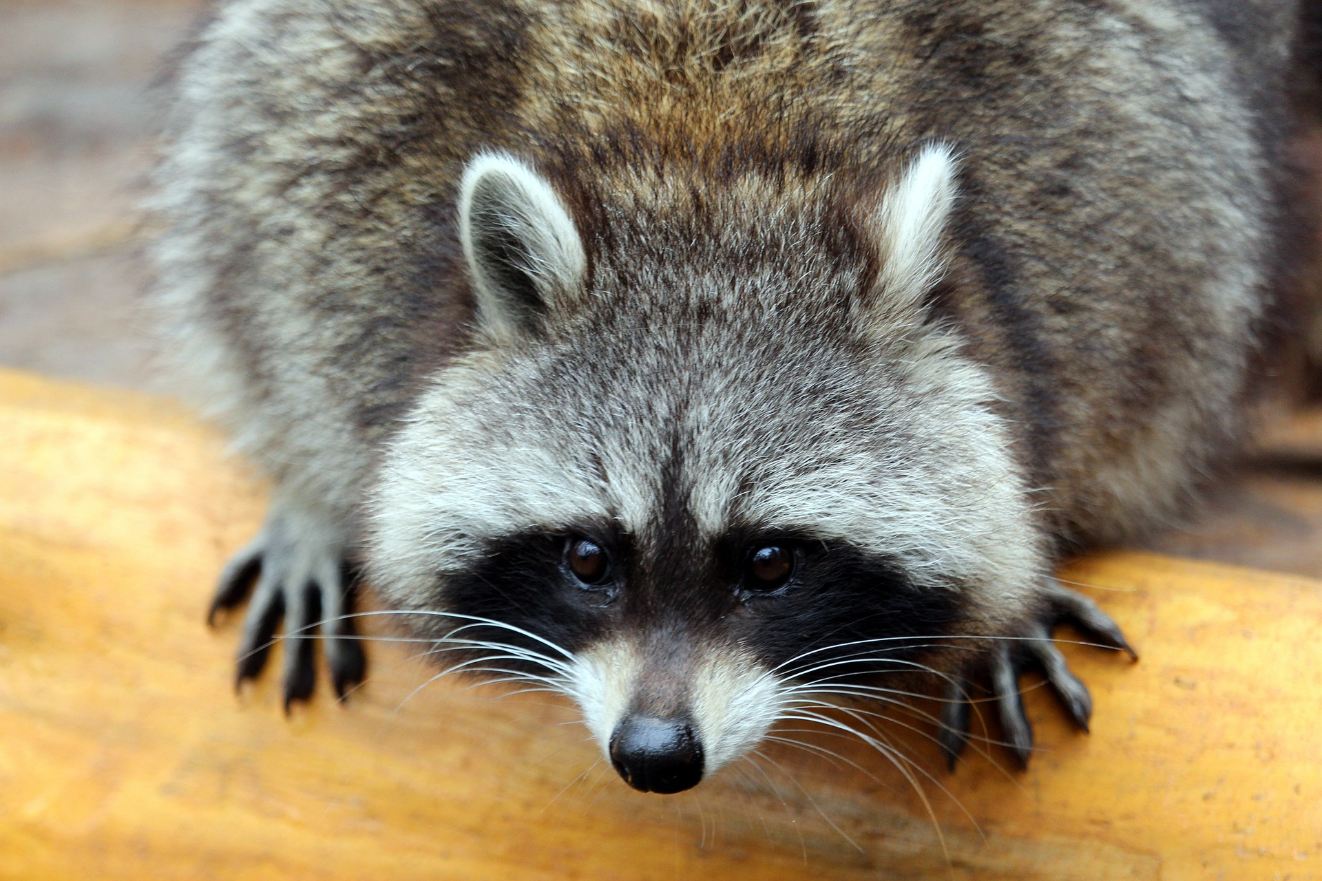 raccoon-2906368_1920